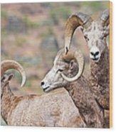 Big Horns Wood Print
