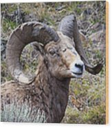 Bighorn Battle Scars Wood Print
