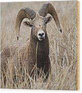 Bighorn Grassland Wood Print