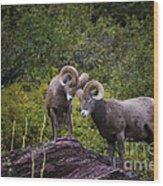 Bighorn Ram 4 Wood Print