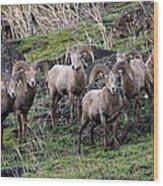Bighorn Reunion Wood Print