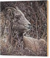 Bighorn Sheep 2 Wood Print