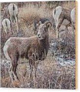 Bighorn Sheep 4 Wood Print