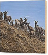 Bighorn Sheep At Blue Mesa Reservoir Wood Print