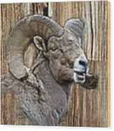 Bighorn Sheep Barnwood Wood Print