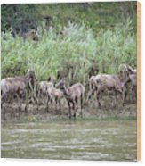 Bighorn Sheep Ovis Canadensis On Bank Wood Print