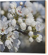 Billows Of Fluffy White Bradford Pear Blossoms Wood Print