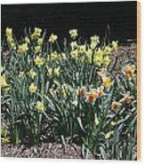 Biltmore Daffodils Wood Print