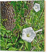 Bindweed In Pipestone National Monument-minnesota Wood Print