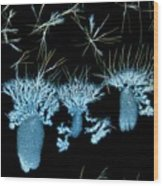 Biotin Crystals Wood Print