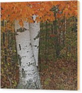 Birch In Autumn Wood Print