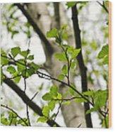 Birch Tree In Spring Wood Print