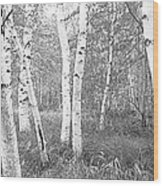 Birch Trees In A Forest, Acadia Wood Print