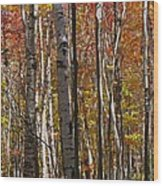 Birch Trees In Autumn Wood Print