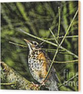 Bird - Baby Robin Wood Print by Paul Ward