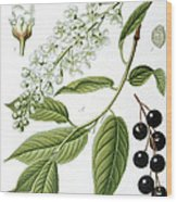 Bird Cherry Cerasus Padus Or Prunus Padus Wood Print