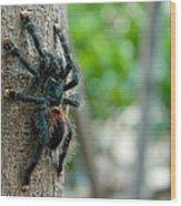 Bird-eater Tarantula / Tarantula Comedora De Aves Wood Print