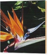 Grotto Bay Bird Of Paradise # 1 Wood Print