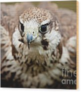 Bird Of Prey Flying Wood Print