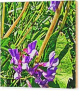 Bird Vetch On Bow River Trail In Banff National Park-alberta  Wood Print