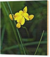 Bird's-foot Trefoil Wood Print