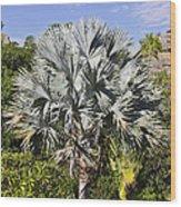 Bismarck Palm  Bismarckia Nobilis Wood Print