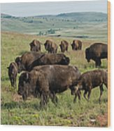 Bison Buffalo In Wind Cave National Park Wood Print