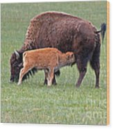Bison Calf Having Breakfast In  Yellowstone National Park Wood Print