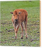 Bison Calf In The Flowers Yellowstone National Park Wood Print