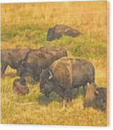 Bison Family Wood Print
