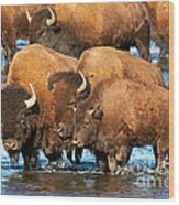 Bison Family In The Lamar River In Yellowstone National Park Wood Print