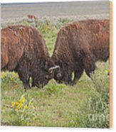 Bison Fight In Grand Teton National Park Wood Print