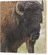 Bison From Yellowstone Wood Print