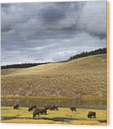 Bison Grazing Along The Yellowstone River In Hayden Valley Wood Print