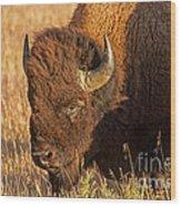 Bison Potrait At Teh Elk Ranch In Grand Teton National Park Wood Print