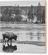 Bison Reflection Wood Print