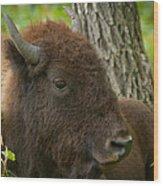Bison Resting Wood Print