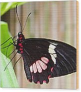 Black And Red Cattleheart Butterfly Wood Print
