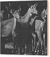 Black And White Antelopes Wood Print