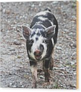 Black And White Baby Pig Wood Print