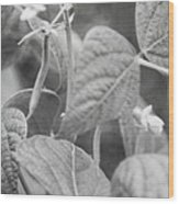 Black And White Kentucky Wonder Wood Print
