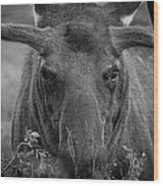 Black And White Moose Close Up Wood Print
