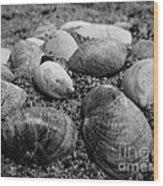 Black And White Seashells Wood Print