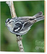 Black-and-white Warbler Mniotilta Varia Wood Print