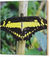 Black And Yellow Swallowtail Butterfly Wood Print