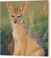 Black-backed Jackal Canis Mesomelas Wood Print