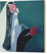 Black Beaked Swans Wood Print