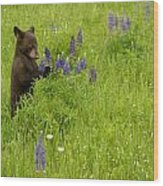 Black Bear   Ursus Americanus Wood Print
