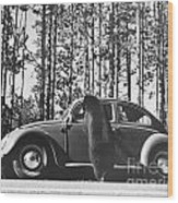 Black Bear Begging Wood Print