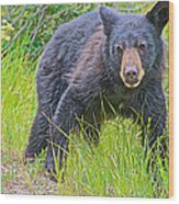 Black Bear Cub Near Road In Grand Teton National Park-wyoming Wood Print